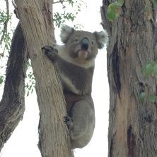 _Koala Adelaide